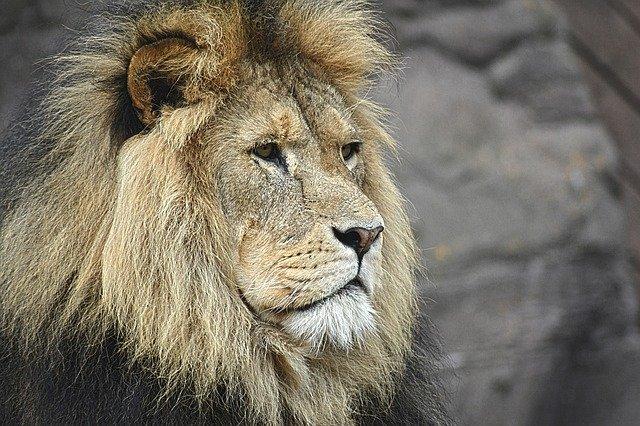 lion-1209289_640.jpg.2e88ab28a875a184dd3e34468c75a417.jpg